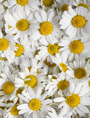 Chamomile | Oils for Natural Cosmetics | Equinox Aromas