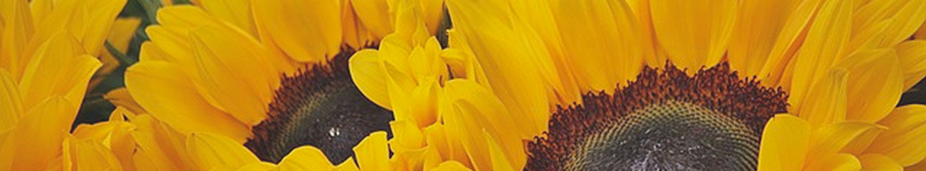 Sun Flowers | Essential Oils Supplier | Equinox Aromas