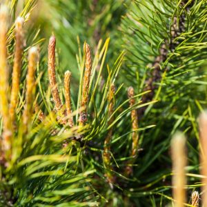 Pine Needle oil   Essential Oils and Resinoids