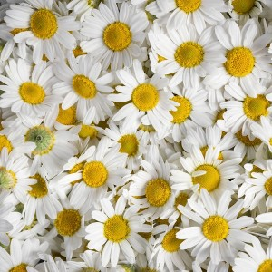 Chamomile oil Roman | Essential Oils and Resinoids