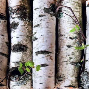 Birch oil Sweet | Essential Oils and Resinoids