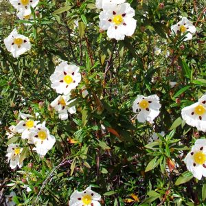 Cistus oil Spain | Essential Oils and Resinoids