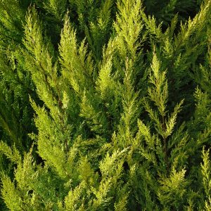Cypress oil Provence | Essential Oils and Resinoids