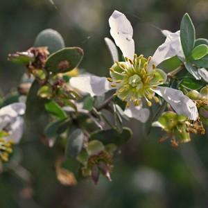 Jojoba Oil Golden   Flavour Chemicals and Vegetable Oils   Equinox Aromas