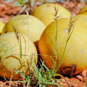 Kalahari Melon Virgin Oil   Vegetable Oil   Equinox Aromas