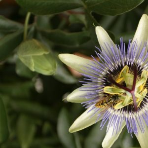 Passionflower Oil   Natural Vegetable Oil Company   Equinox Aromas