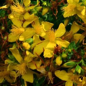 St John's Wort Infused   Organic Vegetable Oils   Equinox Aromas