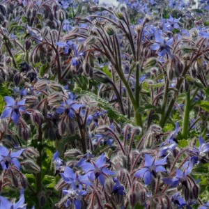 Borage Seed oil | Vegetable Oils and Infusions
