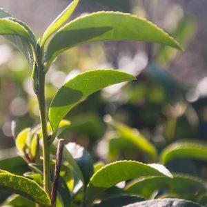 Tea Tree Oil Australian   Essential and Organic Oil Supplier  Equinox Aromas