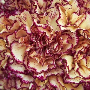 Carnation Absolute Egypt | Online Suppliers of Essential Oil | Equinox Aromas