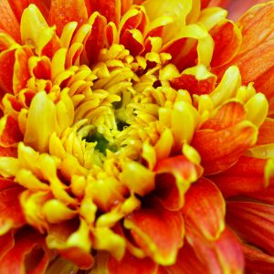 Chrysanthemum Absolute | Precious Oils and Absolutes | Equionx Aromas