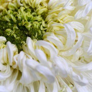 Chrysanthemum Concrete | Essential Oil Supplier | Equinox Aromas