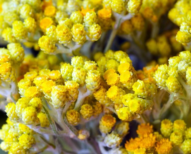 HelichrysumAbs