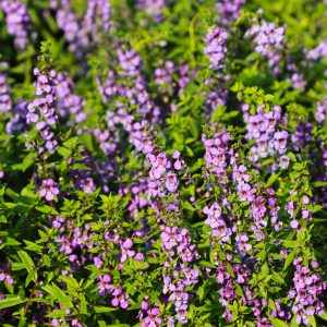 Hyssop Oil Provence | Buy Essential Oils Online | Equinox Aromas