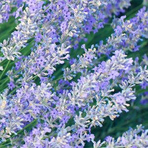 Lavender Oil Bulgaria | Essential and Precious Oil Suppliers | Equinox Aromas