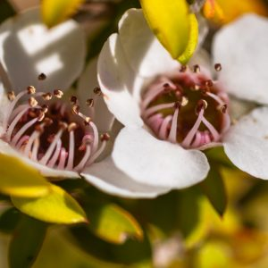 Manuka Oil New Zealand | Natural and Essential Oil | Equinox Aromas