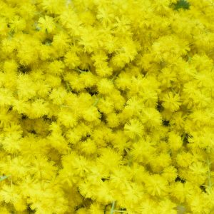 Mimosa Absolute French | Aromatherapy Oils and Flavour Chemicals | Equinox Aromas