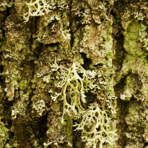 Oakmoss Absolute | Essential Oil Suppliers Online |Equinox Aromas