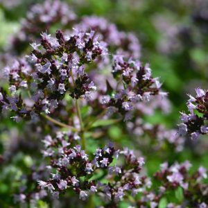 Origanum Oil East Europe | Suppliers of Essential 7 Natural Oils | Equinox Aromas