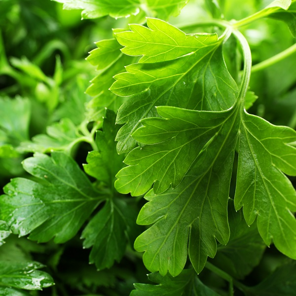 Parsley Herb Oil East Europe | Essential and Vegetable Oils | Equinox Aromas