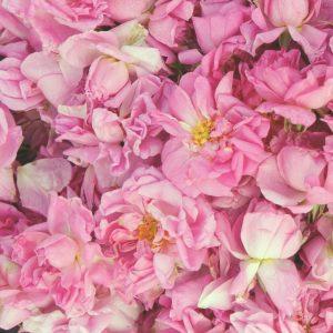 Rose Otto Bulgarian | Perfumery Chemicals | Equinox Aromas
