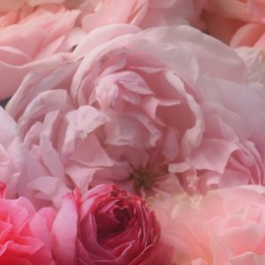 Rose Absolute Egypt | Essential Oil Supplier | Equinox Aromas