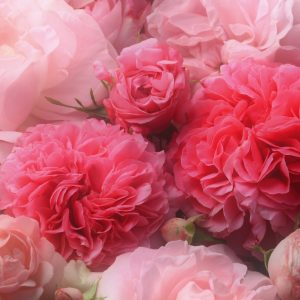 Rose Absolute Moroccan | Perfumery and Flavour Chemicals | Equinox Aromas