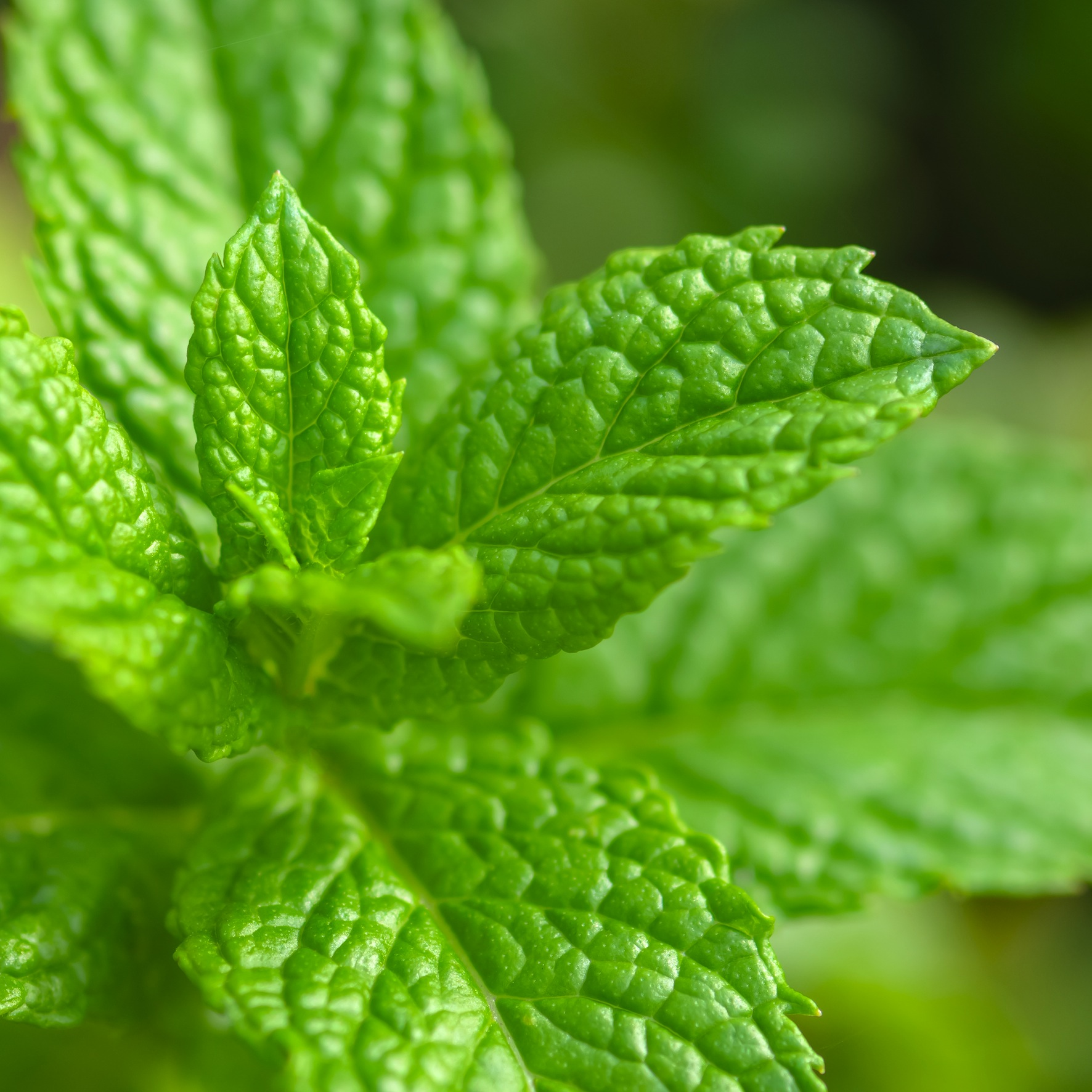 Spearmint Oil Native | Vegetable Oils and Infusions | Equinox Aromas
