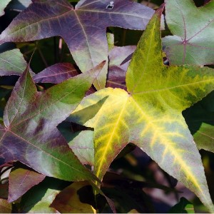 Styrax Oil RIFM French Treated   Natural Oils   Equinox Aromas