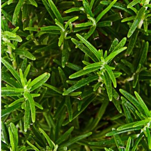 Tarragon Oil France | Buy Flavour Chemicals Online | Equinox Aromas