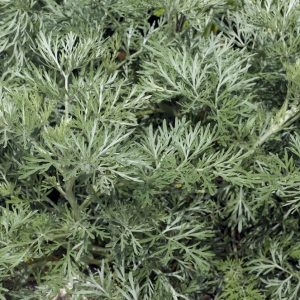 Wormwood Oil USA | Precious Oils and Absolutes | Equinox Aromas