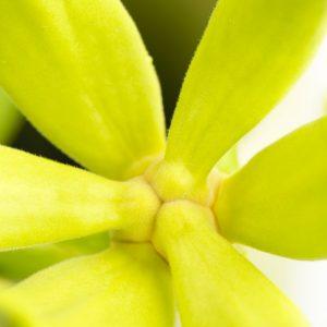 Ylang Ylang Absolute | Perfumery Chemicals | Equinox Aromas