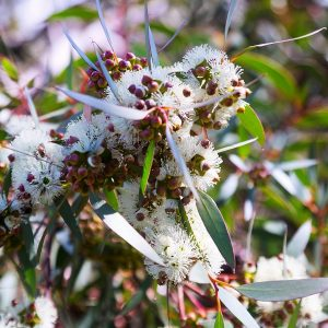 Eucalyptus oil Radiata Australia | Essential Oils and Resinoids