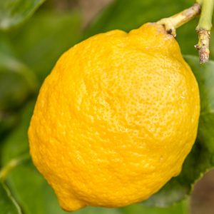 Lemon Oil Sicilian | Essential Oil Supplier Company Online | Equinox Aromas
