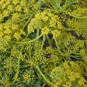 Galbanum | Resinoids | Equinox Aromas