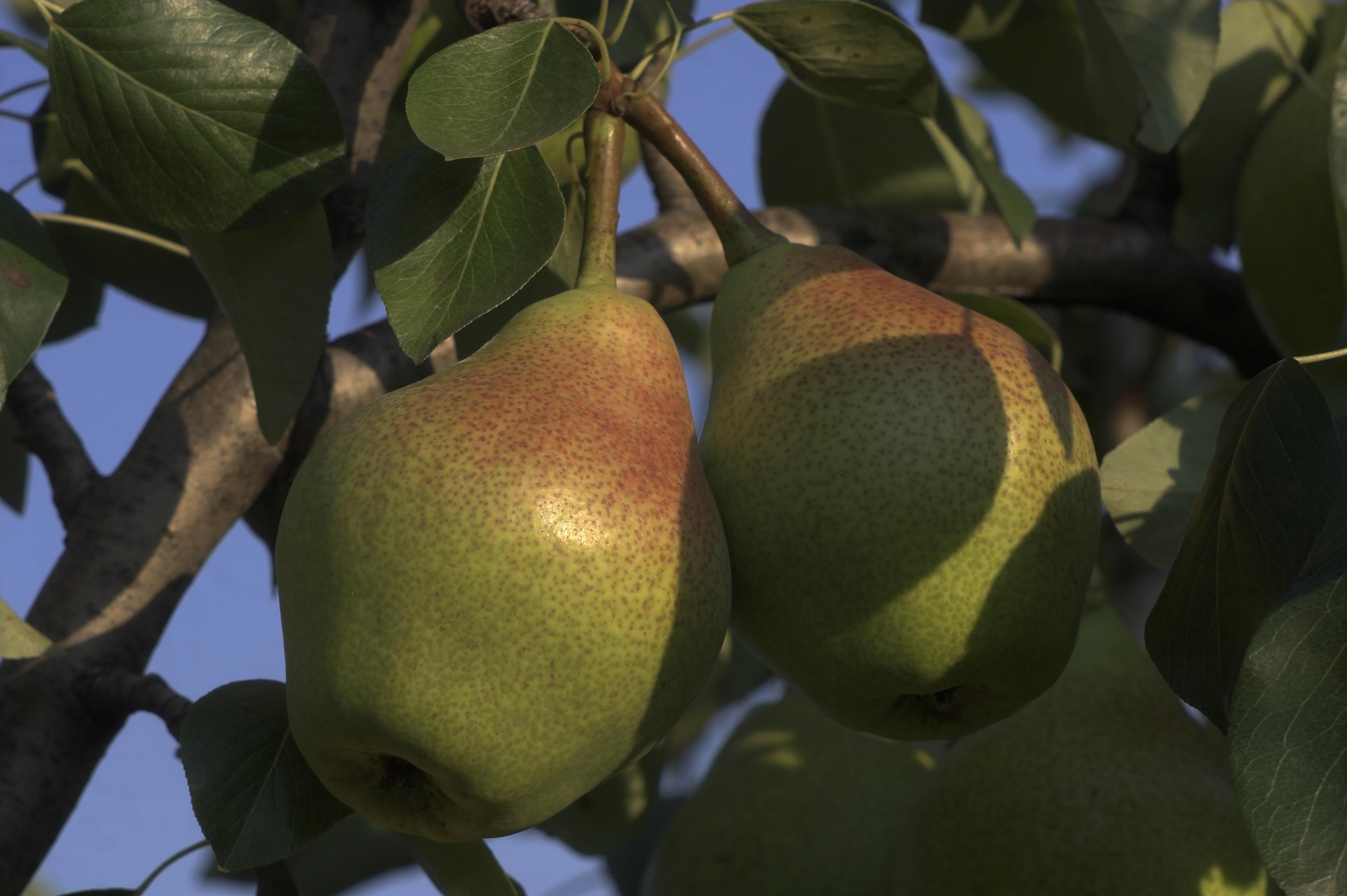 Pears   Fragrance Ingredients   Equinox Aromas