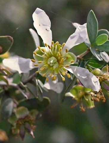 Jojoba | Organic Oil Company | Equinox Aromas
