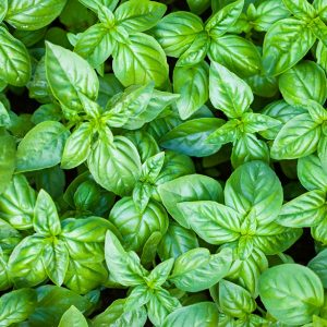 Basil oil Sweet | Essential Oils and Resinoids