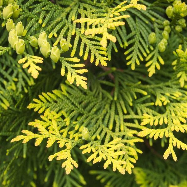 Cedarleaf oil | Essential Oils and Resinoids