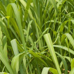 Citronella oil Sri Lanka   Essential Oils and Resinoids