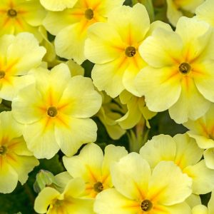 Evening Primrose oil | Vegetable Oils and Infusions