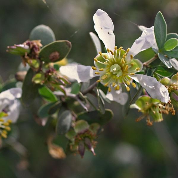 Jojoba Oil Golden | Flavour Chemicals and Vegetable Oils | Equinox Aromas