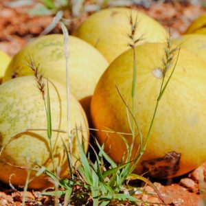 Kalahari Melon Virgin Oil | Vegetable Oil | Equinox Aromas