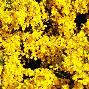 Broom Absolute | Absolutes and Precious Natural Oils | Equinox Aromas