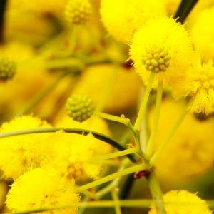 Cassie Absolute | Aromatheraphy Oil Supplier Online | Equinox Aromas