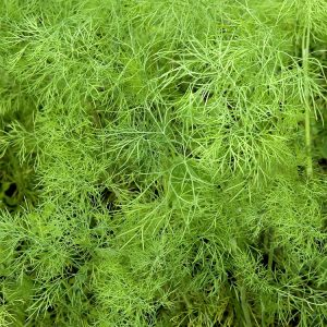 Dill Weed oil East Europe   Essential Oils and Resinoids