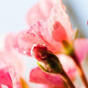 Geranium   Precious Oils and Absolutes   Equinox Aromas