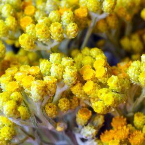 Helychrysum Absolute | Pure Essential Oil | Equinox Aromas
