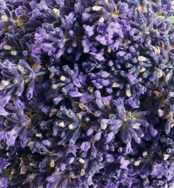 Lavender croat