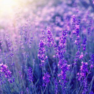 Lavender Absolute | Essential Oil Supplier | Equinox Aromas